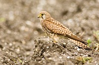 Kestrel, close-up