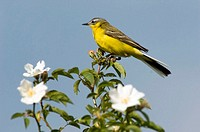 Yellow wagtail, Motacilla flava, sitting on flower