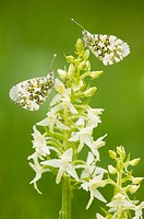 Orange-tip sitting on Lesser Butterfly-Orchid