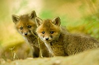 Red fox whelps