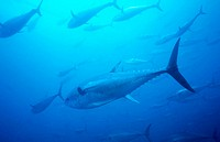 Northern Bluefin Tuna (Thunnus thynnus). Galicia, Spain