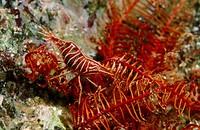 Shrimp (Hippolyte huntii). Galicia, Spain