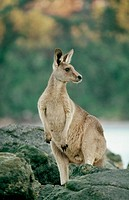 Eastern Grey Kangaroo (Macropus giganteus) on rocks