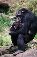 Chimpanzees (Pan troglodytes). Africa