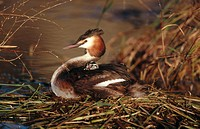 Great Crested Grebe (Podiceps cristatus). Spain