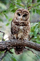 Spotted Owl (Strix occidentalis). Arizona, USA