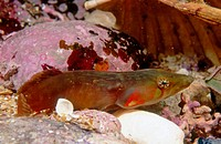 Connemara Clingfish (Lepadogaster candollei). Galicia, Spain