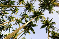 Palm trees (Palma sp.), low angle view