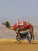 Use for Transportation - natural (camel) and manmade (bike), together at Mahabaleshwar, Satara, Maharashtra, India