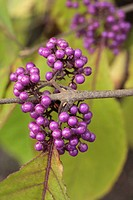 Beauty berry (Callicarpa bodinieri)