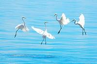 Dancing Birds, Jelutong Beach, Penang, Malaysia