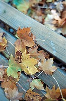 Coloured leaves in autumn, lying on planks