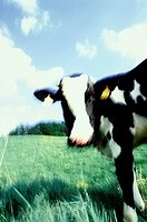A cow in the meadow, blue sky and white clouds