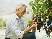 side profile of a mature man examining grapes in a vineyard