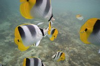 Shoal of striped fish on reef in ocean