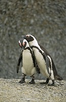 African Penguin (Spheniscus demersus). South Africa