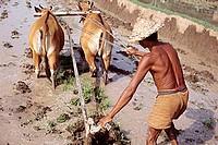 Indonesia, Bali, Ubud, Balinese man ploughing rice padi. (grainy)