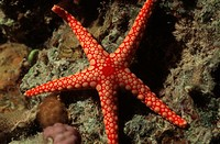 Asteroidea, fauna, fish, Fromia monilis, coral reefs, marine fishes, nature, oceans, red mesh star, Red Sea, starfishe