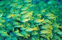 Ari atoll, Blaustreifenschnapper, fauna, fish, Goldstreifenschnapper, Goldstreifenschnapper, blue stripe, Goldstreifen