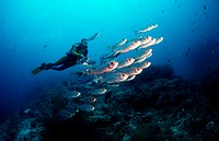 Crescent_tail bigeye and scuba diver, Priacanthus hamrur, Maldives Islands, Indian ocean, Ari Atol, Atoll, vertebrate,