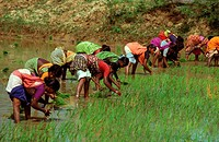 PLANTATION RICE<BR>Photo essay for press only.<BR>Women planting rice in Tamil Nadu, India.