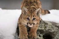 Portrait of a cougar cub stalking on a rock (Felis concolor)