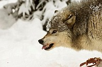 Side profile of a Gray Wolf snarling on snow (Canis lupus)