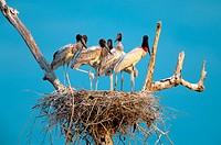 S.A., Brazil, Pantanal Nesting storks
