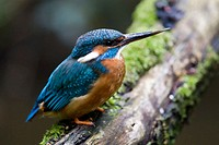 Kingfisher (Alcedo atthis), female with broken bill, sitting on a branch, Bischofsweiher, near Erlangen, Germany