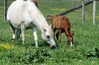 A mare teaches its newly born foal about what tasty grasses to eat