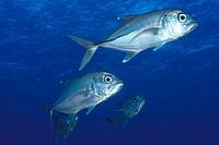 Bigeye trevallies (jacks), Caranx sexfasciatus, schooling, Ailuk atoll, Marshall Islands, Pacific