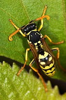Wasp (Polistes gallicus)