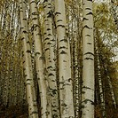 Stems of birches