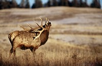 Bull elk. Yellowstone National Park. Wyoming. USA