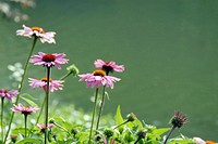 Sun-kissed, pink daisy plants on the shore of a pond