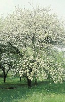 Apple tree blossoming