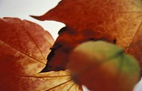Red coloured autumn leaves