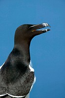 Razorbill portrait