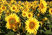 A field full of blossoming sunFlowers, flower.