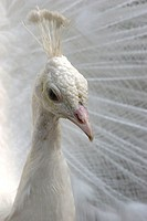 Portrait of beautiful white peacock.