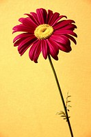 A beautiful pink petaled flower with yellow anther