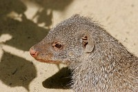 Mongoose looking away, elevated view, close-up