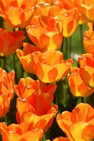 Norway, Tulips, close-up