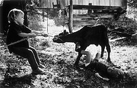 Young boy trying to pull a calf with a rope tied around its neck.