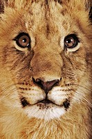 Lion cub (Panthera leo), close-up