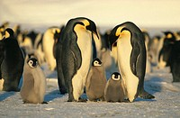 Emperor Penguins with Chicks