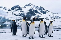 King Penguins Looking in All Directions
