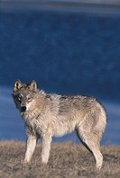 Gray Wolf in Meadow