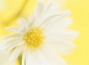 White marguerite against yellow background, close-up
