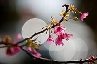 Cherry blossoms, close-up